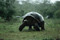 Galapagos Giant Tortoise (Geochelone nigra) in rainy season