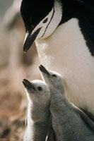 Chinstrap Penguin (Pygoscelis antarctica) bowing over twin c