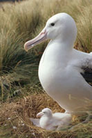 Royal Albatross (Diomedea epomophora) guarding chick in tuss