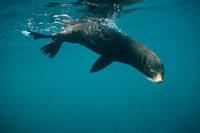 Galapagos Fur Seal (Arctocephalus galapagoensis) underwater