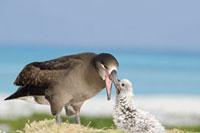 Black-footed Albatross (Phoebastria nigripes) feeding chick