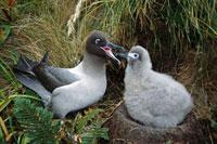 Light-mantled Albatross (Phoebetria palpebrata) chick being