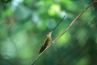 Sword-billed Hummingbird (Ensifera ensifera) perching in the