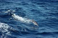 Common Dolphin (Delphinus delphis) jumping、 Sea of Cortez、