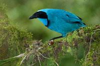 Turquoise Jay (Cyanolyca turcosa)、 Bellavista Cloud Forest