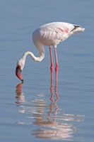 Lesser Flamingo (Phoenicopterus minor) foraging、 Lake Nakur