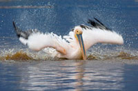 Great White Pelican (Pelecanus onocrotalus) bathing、 Lake N