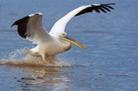 Great White Pelican (Pelecanus onocrotalus) landing、 Lake N