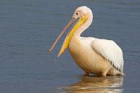 Great White Pelican (Pelecanus onocrotalus)、 Lake Nakuru、