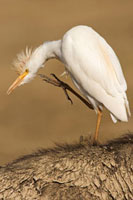 Cattle Egret (Bubulcus ibis) scratching itself while on the