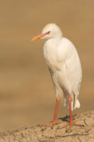 Cattle Egret (Bubulcus ibis) on the back of Cape Buffalo (Sy