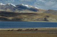 Tibetan Wild Ass (Equus hemionus kiang) herd running across