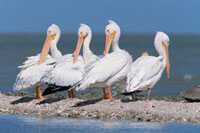 American White Pelican (Pelecanus erythrorhynchos) flock on 01543023162| 写真素材・ストックフォト・画像・イラスト素材|アマナイメージズ