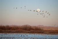 Snow Goose (Chen caerulescens) flock swimming in lake at sun