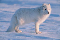 Arctic Fox (Alopex lagopus) in spring、 looking for carrion