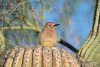Gila Woodpecker (Melanerpes uropygialis) male perching on Sa 01543023217| 写真素材・ストックフォト・画像・イラスト素材|アマナイメージズ