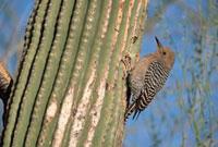Gila Woodpecker (Melanerpes uropygialis) male perching on Sa