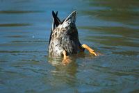 Mallard (Anas platyrhynchos) feeding in pond on aquatic vege