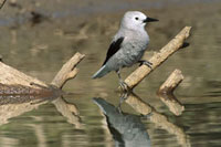 Clark's Nutcracker (Nucifraga columbiana) perching on snag
