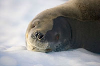 Leopard Seal (Hydrurga leptonyx) young resting on ice floe、
