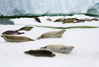 Crabeater Seal (Lobodon carcinophagus) group resting on ice