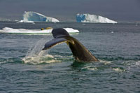 Humpback Whale (Megaptera novaeangliae) diving near ice floe