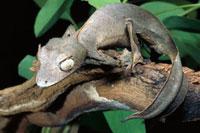 Fantastic Leaf-tail Gecko (Uroplatus phantasticus) portrait 01543023788| 写真素材・ストックフォト・画像・イラスト素材|アマナイメージズ