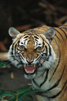 Indochinese Tiger (Panthera tigris corbetti) snarling、 nati