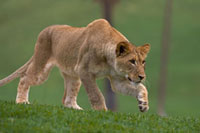 African Lion (Panthera leo) young African Lion stalking、 na