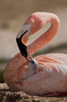 Greater Flamingo (Phoenicopterus ruber) parent feeding chick