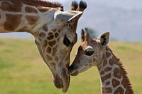Rothschild Giraffe (Giraffa camelopardalis rothschildi) nuzz
