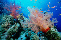Soft Coral outcropings (Dendronephthya sp) with reef fish on