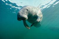 West Indian Manatee (Trichechus manatus) underwater,Florida 01543024650| 写真素材・ストックフォト・画像・イラスト素材|アマナイメージズ