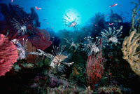 Common Lionfish (Pterois volitans) group surrounded by Sea F