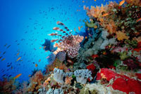 Common Lionfish (Pterois volitans) swimming over reef,20 fe