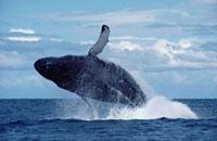 Humpback Whale (Megaptera novaeangliae) breaching�CHawaii