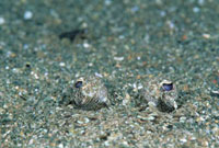 Lefteye Flounder (Bothus sp) eyes peering from sand,20 feet