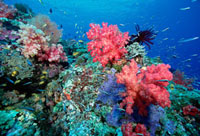 Soft Coral (Dendronephthya sp) and reef fish 50 feet deep,S