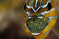 Yellow-striped Cardinalfish (Apogon cyanosoma) male with egg
