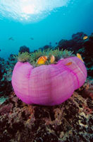 Pink Anemonefish (Amphiprion perideraion) in Magnificent Sea