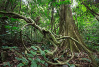 Tropical rainforest undergrowth,Lobeke National Park,Camer