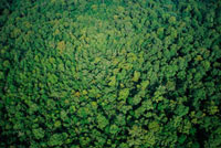 Mangrove (Rhizophora sp) in Mahakam Delta which was 80% dest