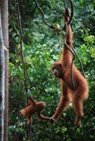 Orangutan (Pongo pygmaeus) mother and young hanging on liana