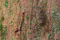 Cicada (Cicadidae) camouflaged on tree trunk,Gunung Leuser 01543024943| 写真素材・ストックフォト・画像・イラスト素材|アマナイメージズ