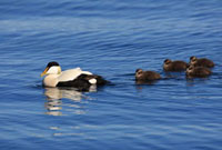 Common Eider (Somateria mollissima) male with ducklings�CFla