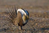 Sage Grouse (Centrocercus urophasianus) male displaying on l