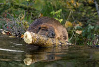 American Beaver (Castor canadensis) hauling log over dam,we