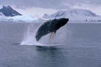 Humpback Whale (Megaptera novaeangliae) breaching�CAntarctic
