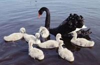Black Swan (Cygnus atratus) parent swimming with seven white