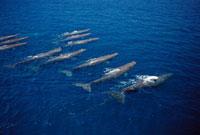 Sperm Whale (Physeter macrocephalus) group�CGalapagos Island